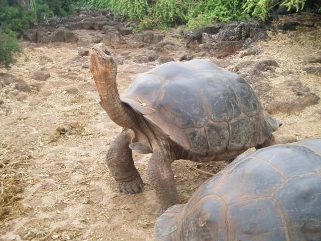 Galapagos Żółwie na wyspie Santa Cruz