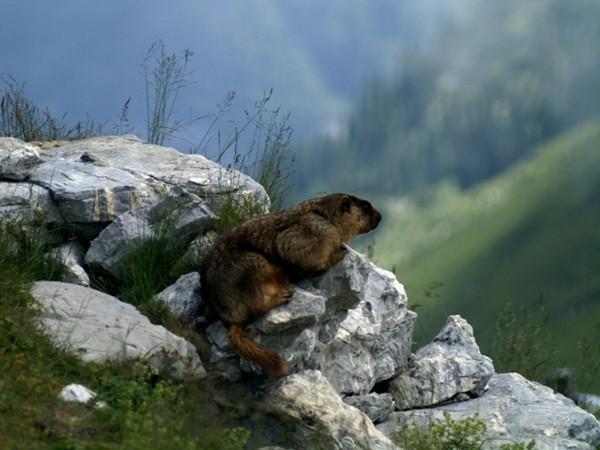 Rochers de Naye W alpejskim raju świstaków