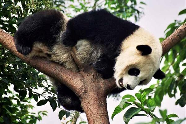 Chengdu W ostoi pandy wielkiej