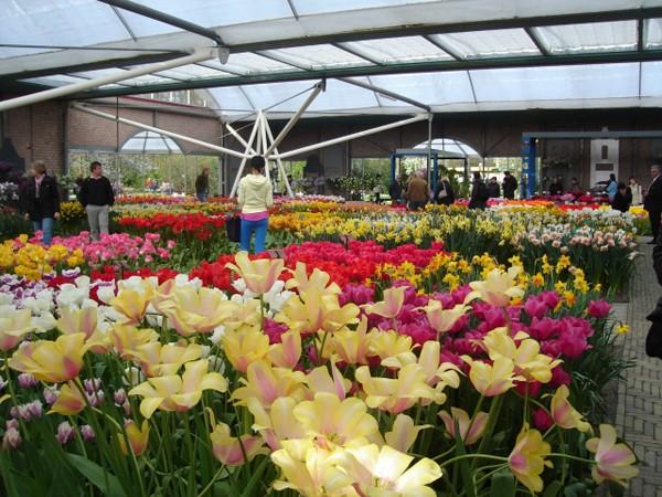 Keukenhof. W ogrodzie pełnym kwiatów