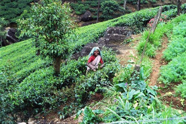 Sri Lanka. Herbacianych gór nie ma na mapie