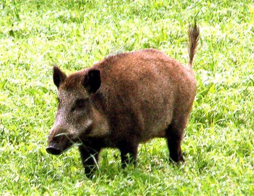 Prypecki Park Narodowy. Bezkrwawe łowy na dzikiego zwierza