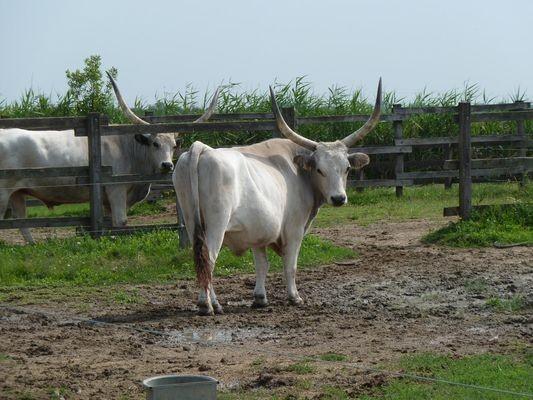Puszta. Krowy i konie mieszkają w zoo