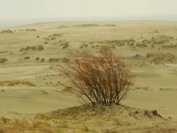 Mierzeja Kurońska. Na lotnych piaskach wydmy Epha