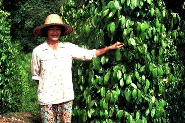 Borneo Tam, gdzie pieprz rośnie