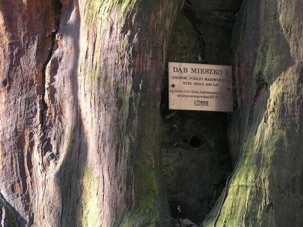 Warszawa. Najstarszy dąb na Mazowszu