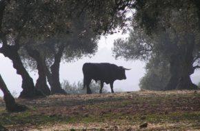 La Calera Proste jest życie andaluzyjskiego byka
