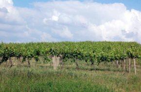 Kobyli Wetlińskie zielone… wino z Kobyły