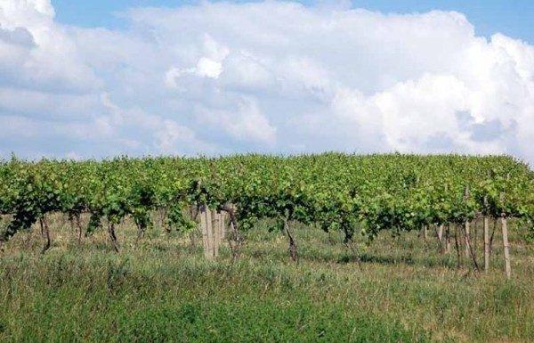 Kobyli. Wetlińskie zielone… wino z Kobyły