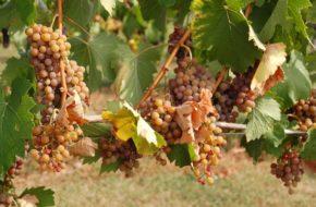 Veľká Tŕňa Tokajskie wina dojrzewają… na Słowacji