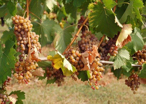 Veľká Tŕňa. Tokajskie wina dojrzewają… na Słowacji