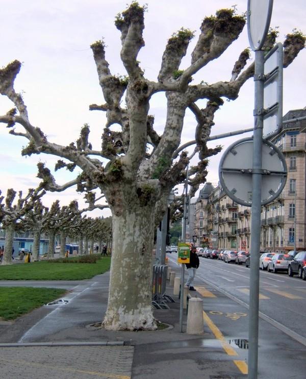 Genewa. Platany. Jak bezlistne rzeźby…