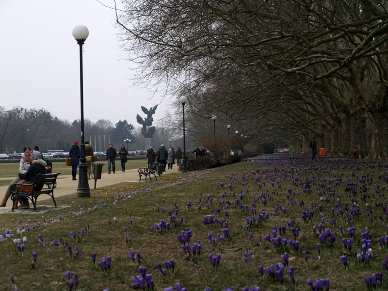 Szczecin. Kwitną krokusy na Jasnych Błoniach
