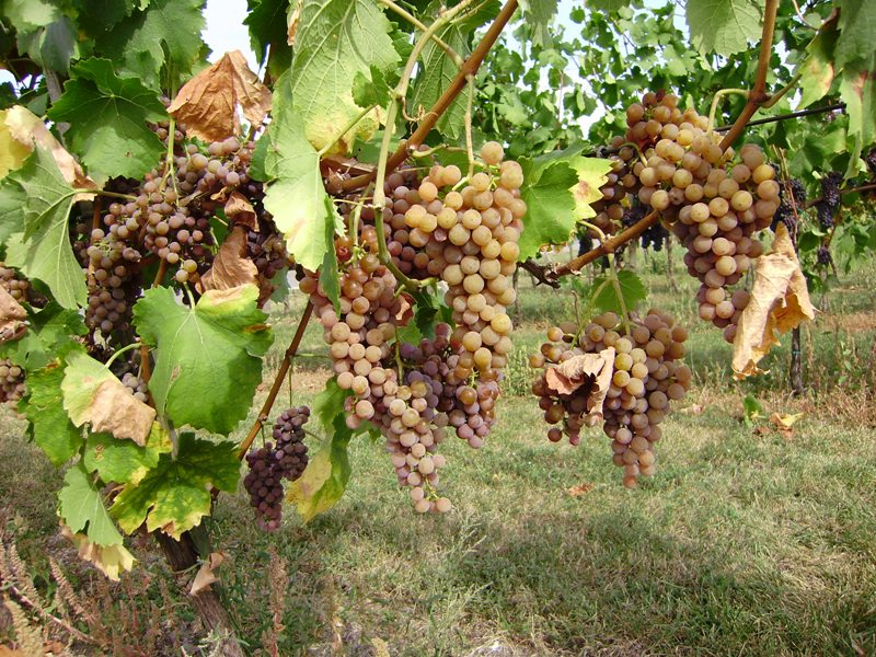 Kiszyniów Narodowy Dzień Wina w Mołdawii