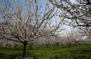 Dolina Wachau Kwitną już drzewa morelowe!