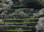 Dolina Wachau. Kwitną już drzewa morelowe!