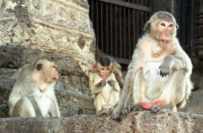 Lop Buri W królestwie małp
