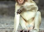 Lop Buri. W królestwie małp