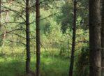 Bory Tucholskie. Na grzyby w aromatów pełny las…