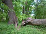 Gdynia. Miejskie pomniki przyrody ożywionej