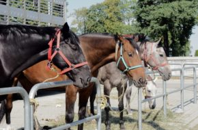 Pajęczno Targi końskie reaktywowane