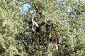 Antyatlas Kozy na drzewach i szafran w słoiku