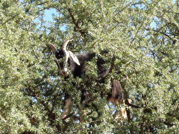 Antyatlas. Kozy na drzewach i szafran w słoiku