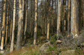 Harz Spod padłych drzew wyrasta zdrowy las