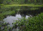 Łomnica. Stary dąb, bagno i zarastające jezioro