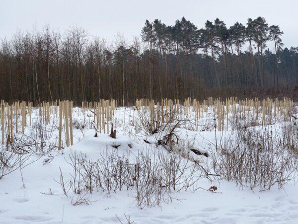Wólka Pęcherska Na biegówkach do sosny gonnej